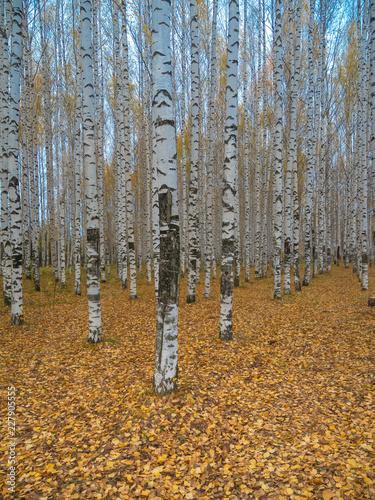 Autumn birch grove. Golden autumn, fall foliage, birch forest. - 227905555