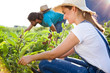 Young horticulturist couple harvesting fresh vegetables in the garden.