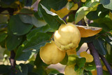 ripe quince between the leaves on the tree, harvest time for fruits in autumn, copy space - 227920565