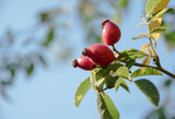 three red rose hips on the bush against the blue sky with copy space - 227921169