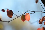red colored autumn leaves of a shadbush (Amelanchier) in backlight against the blue sky - 227921596
