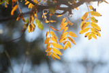 golden autumn leaves of a mountain ash in backlit, blue background with copy space - 227921939