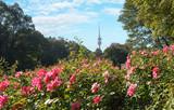blühendes Rosenbeet im Münchner Luitpoldpark