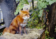 Red Fox. It is a predatory mammal of the family of dogs. Externally, the Fox is a medium-sized beast with a graceful body on low legs, with an elongated face, sharp ears and a long fluffy tail.