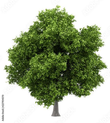 avocado tree isolated on white background - 227934370