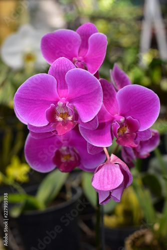 Orchid Flower - 227935938