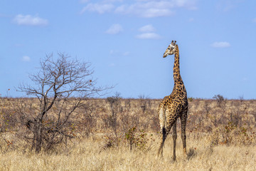 Giraffe in Kruger National park, South Africa . Specie Giraffa camelopardalis family of Giraffidae