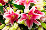 Pink lily flowers and buds close up