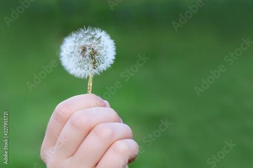 Kind hält Pusteblume in der Hand und betrachtet sie - 227955721