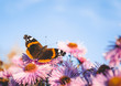 Background wallpaper with a beautiful butterfly of Vanessa Atalanta sitting on the flower Aster (Symphyotrichum) Novi-Belgii - 227968569