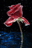.Rose in water drops on a dark background, postcard.