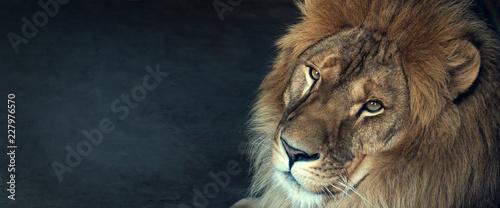 Naklejka close-up of an African lion
