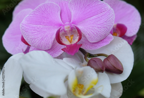 Beautiful purple moon orchid - 227982724