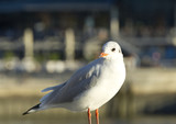 Seagull sitting in warm sunlight on wooden post