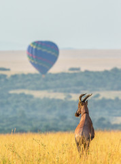 Topi antelope standing in the savanna in the background of a flying balloon. Africa. Kenya. Tanzania. Masai Mara. Serengeti. © gudkovandrey