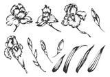 Set of vector hand drawn illustrations of irises.