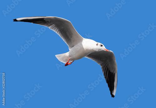 Leinwandbild Motiv Fliegende Möwe freigestellt