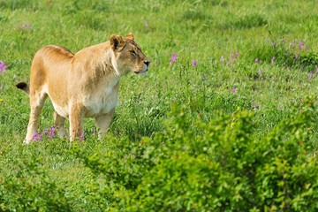 Watchful Lioness