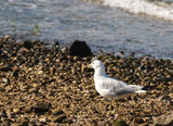 Seagull on rocky beach with a clam