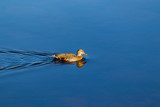 Lone duck in water, autumn morning.