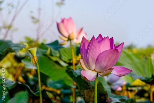 Wall mural Pink lotus and blue sky at dawn, tropical monsoon