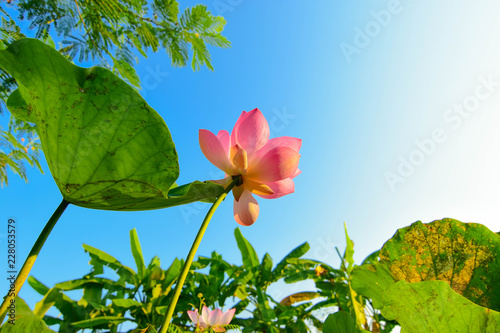 Foto Murales Pink lotus and blue sky at dawn, tropical monsoon