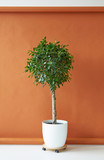 Ficus tree on a brown background