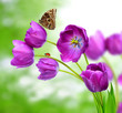 fresh purple tulips with butterfly morpho on green background