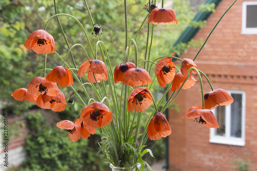 Bouquet of wild poppies on a wood background and view of a brick rural house on a spring day. - 228065149