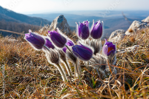 Foto Murales pasqueflowers in Crimean mountains
