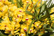 Quadro gardening, botany, texture and flora concept - beautiful yellow orchid flowers