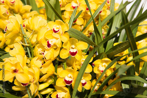 gardening, botany, texture and flora concept - beautiful yellow orchid flowers - 228066918