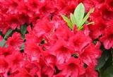 Red azalea (rhododendron) bush in full bloom in spring time