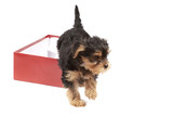 Yorkshire Terrier puppy in the red gift box