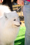Close up portrait of  pet snow-white samoyed  with mistress, outdoors