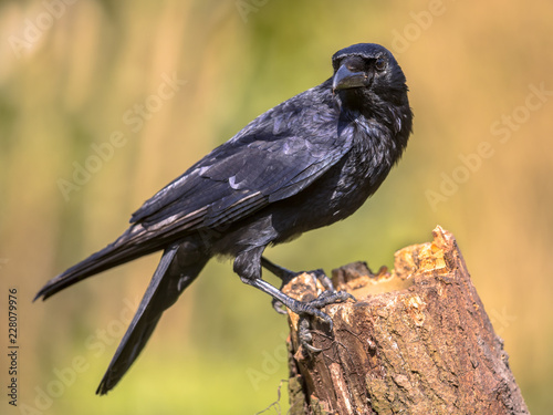 Leinwandbild Motiv Black Carrion Crow