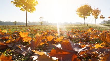 Autumn morning, Landscape with yellow and red, autumn leaves. Sunlight, rays. Autumn background.