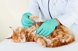 Small cute red cat examined at the