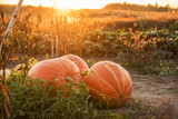 Huge pumpkins in the garden in a field at sunset. simple farmer view. Harvesting in the fall.