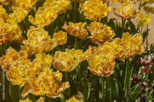 tulips garden