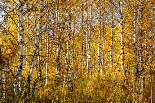 Birch grove with golden leaves in the fall on a sunny day - 228116948