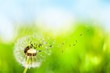 Quadro Dandelion with blowing seedsDandelion with blowing seeds