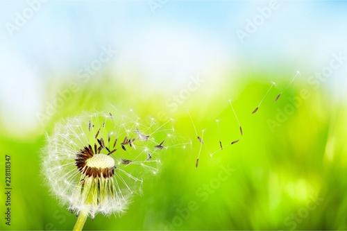 Foto Murales Dandelion with blowing seedsDandelion with blowing seeds
