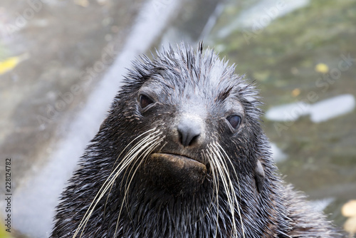 Foto Murales Baikal seal. Baikal seal is one of three freshwater seal species in the world, inhabits lake Baikal.