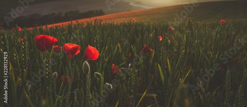 poppy field of red poppies - 228132929