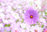 Cosmos flower in spring.