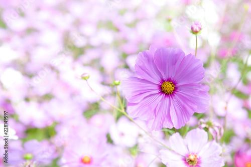 Cosmos flower in spring.