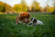 Nova Scotia Duck Tolling Retriever with Parson Russell Terrier Puppy
