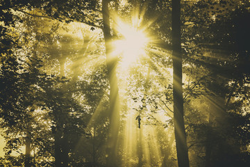 Beautiful gold colored shiny sun rays through forest trees. © robsonphoto