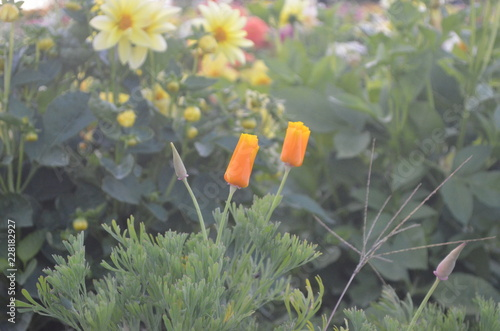 Foto Murales Orange flowers in garden